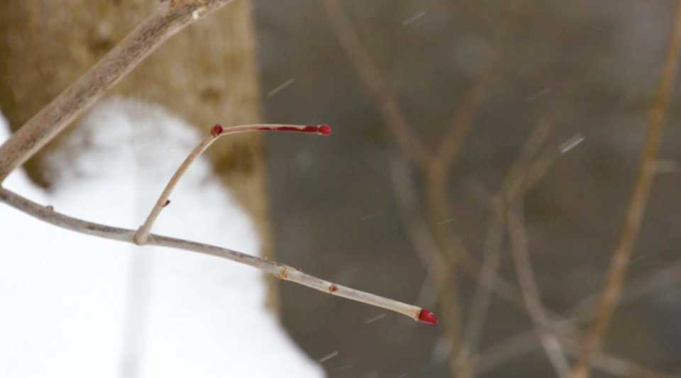 Wintery Branch With Red Buds